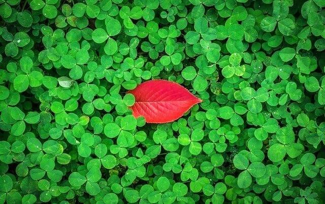 三つ葉の中に一枚だけある赤い葉っぱ