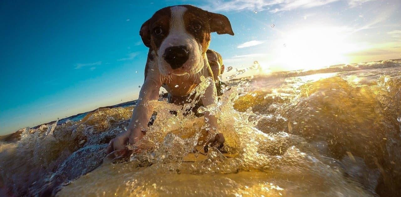 サーフィン犬